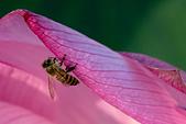 2014-07-06_台大安康農場:這張我超驕傲的啦!難得把蜜蜂拍得這麼清楚,而且我只按了兩張快門!!!