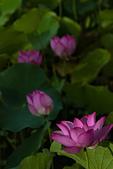 2014-07-12_竹北新瓦屋荷花池:荷花的數大,其實很不美阿...Orz