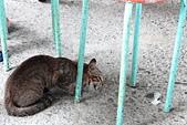 2014/06/28,29_小琉球&墾丁(陸地+海底):我們在烏鬼路吃飯遇到的貪吃貓:P