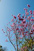 2014-02-02_ (初三趴趴走) 竹崎、左營、旗津:洋紅風鈴木 @竹崎親水公園