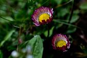 2014-03-10_阿里山拼命行:仆在地上拍很久的小花之二