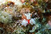 2015-05-16~17_小琉球之海龜看到膩:拳擊蟹