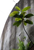 2013-05月生活:2013-05-04_高牆中長出來的樹 @寶藏巖