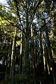 2013-03-22_阿里山森林遊樂區:高聳入天