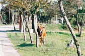 [Film 28~30] 2017年01月金門三日遊:因為錯過公車時間,所以從碧山步行前往山后。途中看到牛隻被綁在路邊~ 這次在金門,看見的貓>牛>狗..