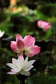 2014-07/10 & 08/15_新竹靜心湖:〔07/10〕三種顏色比一比...之...我又差點滑進池塘去 Orz