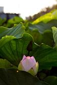 2014-07-19_觀音蓮花季:IMG_7584.jpg