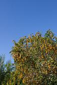 2014-02-02_ (初三趴趴走) 竹崎、左營、旗津:鮮黃色但不知名的果實