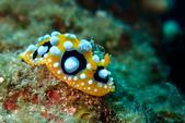 2015-05-16~17_小琉球之海龜看到膩:長得很醜的海蛞蝓