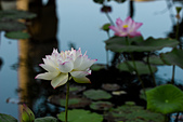 2014年07月的華山荷塘:IMG_7254.jpg