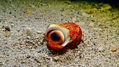 2017年11月,平常日的小琉球海底三日遊 (NO. 145~151):很大一顆的....螺貝類(?)