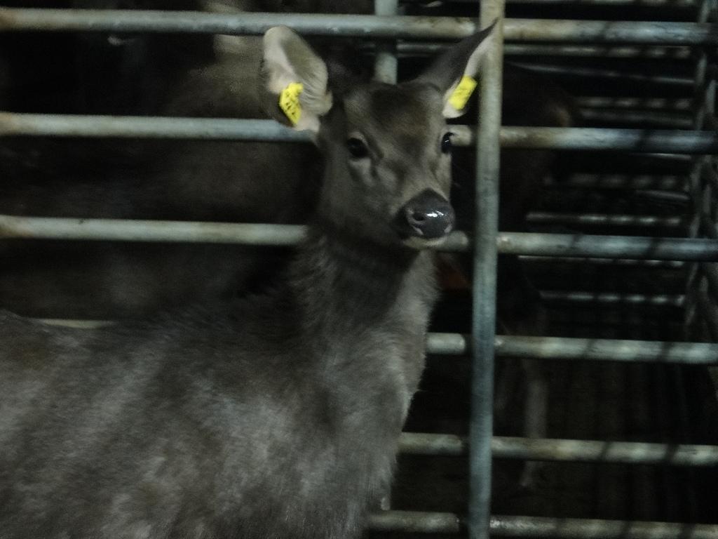 2011年01月生活:0101_親戚家養的鹿