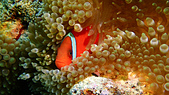 2017年11月,平常日的小琉球海底三日遊 (NO. 145~151):很憂鬱的Nemo