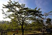 2013-03-22_阿里山森林遊樂區:阿里山櫻王