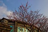 2014-01-18_清大梅園 & 平菁街42巷:平等里的櫻花