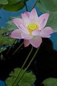 2014年07月的華山荷塘:我好喜歡這個品種的荷花,淡淡的粉嫩色,優雅卻不失其豔麗。