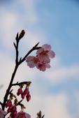 2014-01-18_清大梅園 & 平菁街42巷:緋寒櫻與最後的藍天