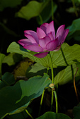 2014-07-12_竹北新瓦屋荷花池:IMG_7066.jpg