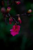 2014-01-18_清大梅園 & 平菁街42巷:小小的桃紅花很可愛~
