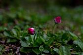 2014-03-10_阿里山拼命行:仆在地上拍很久的小花之四