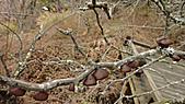 2011-02-20_武陵農場賞櫻行:木棧道上偶遇的『木耳』