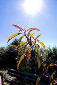 2014-01-01_美麗的中橫大冰箱:陽光下的葉子