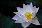 2013年07月_靜心湖荷花:IMG_9583.JPG