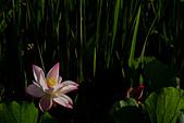 2014-07-06_台大安康農場:其實我本來不是在拍這朵。剛好園主在旁邊拍,然後熱情的叫我先拍這朵,他要把花「藏」回原本的位置了。很幸運 :)