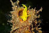 2015/04/30~05/03_土蘭奔潛水日記 @Bali:Yellow Goby