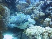 2013-06-15~17_OW潛水員訓練:OW第二隻氣瓶就看到海龜!!