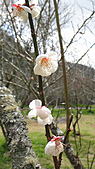 2011-02-20_武陵農場賞櫻行:2011年二月的武陵正是『梅開二度』的時節~