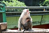 2012-08-11_伯朗大道、泰源幽谷、東河橋、都蘭(國小、糖廠)、杉原、伽路蘭、森林公園:小猴跟人類一樣,緊緊的抱住媽媽