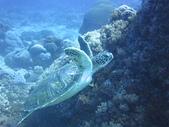 2013-06-15~17_OW潛水員訓練:海龜游泳超可愛的
