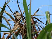 2013-03-09_石門 & 老梅:雜景之中的小鳥  @富貴角