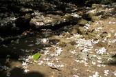 2012052基隆瑪陵的富民親水公園桐花步道: