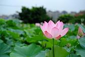 20130617三峽廣行宮拍荷花: