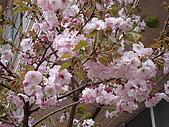 2009阿里山櫻花季:DSC01392.JPG