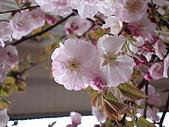 2009阿里山櫻花季:DSC01393.JPG