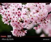 2014 楓樹湖吉野櫻:s_IMG_1976.jpg