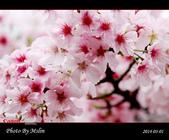 2014 楓樹湖吉野櫻:s_IMG_1980.jpg