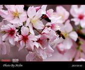 2014 楓樹湖吉野櫻:s_IMG_2032.jpg