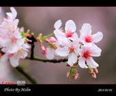 2014 楓樹湖吉野櫻:s_IMG_1987.jpg