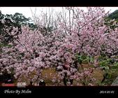 2014 楓樹湖吉野櫻:s_IMG_1998.jpg