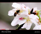 2014 楓樹湖吉野櫻:s_IMG_2171.jpg