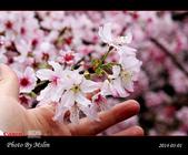 2014 楓樹湖吉野櫻:s_IMG_2029.jpg