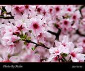 2014 楓樹湖吉野櫻:s_IMG_1892.jpg