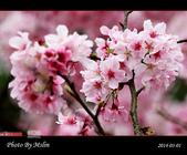 2014 楓樹湖吉野櫻:s_IMG_1963.jpg