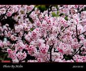 2014 楓樹湖吉野櫻:s_IMG_1971.jpg
