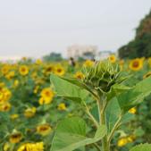 嘉義2011花海:P1210090.JPG