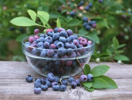 日誌用相簿:藍莓(網路圖片)